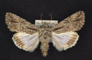 (Sympistis lachrymosa - CNCNoctuoidea6761)  @14 [ ] Unspecified (default): All Rights Reserved  Unspecified Unspecified