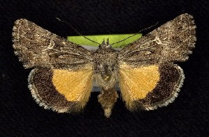 (Sympistis mirificalis - CNCNoctuoidea6782)  @13 [ ] Unspecified (default): All Rights Reserved  Unspecified Unspecified