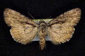 (Sympistis utahensis - CNCNoctuoidea6786)  @14 [ ] Unspecified (default): All Rights Reserved  Unspecified Unspecified