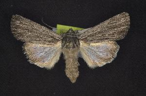 (Sympistis mut - CNCNoctuoidea6840)  @12 [ ] Unspecified (default): All Rights Reserved  Unspecified Unspecified