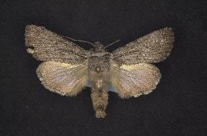 (Sympistis amun - CNCNoctuoidea7431)  @14 [ ] Unspecified (default): All Rights Reserved  Unspecified Unspecified