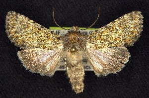 (Sympistis wilsonensis - CNCNoctuoidea7440)  @15 [ ] Unspecified (default): All Rights Reserved  Unspecified Unspecified