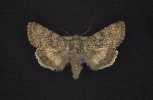 (Sympistis anubis - CNCNoctuoidea7441)  @13 [ ] Unspecified (default): All Rights Reserved  Unspecified Unspecified