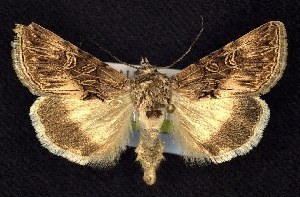 (Sympistis levis - CNCNoctuoidea7454)  @14 [ ] Unspecified (default): All Rights Reserved  Unspecified Unspecified