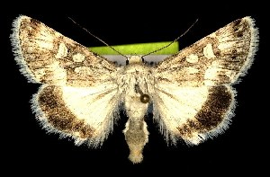 (Sympistis tartarea - CNCNoctuoidea7460)  @14 [ ] Unspecified (default): All Rights Reserved  Unspecified Unspecified