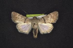 (Sympistis dischorda - CNCNoctuoidea7468)  @14 [ ] Unspecified (default): All Rights Reserved  Unspecified Unspecified