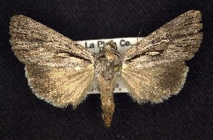 (Sympistis chandleri - CNCNoctuoidea7479)  @13 [ ] Unspecified (default): All Rights Reserved  Unspecified Unspecified