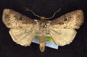 (Agrotis vancouverensis - CNCNoctuoidea7570)  @15 [ ] Unspecified (default): All Rights Reserved  Unspecified Unspecified
