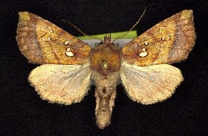 (Papaipema leucostigma - CNCNoctuoidea7618)  @15 [ ] Unspecified (default): All Rights Reserved  Unspecified Unspecified