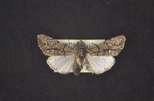 (Oxycnemis sp - CNCNoctuoidea7657)  @13 [ ] Unspecified (default): All Rights Reserved  Unspecified Unspecified