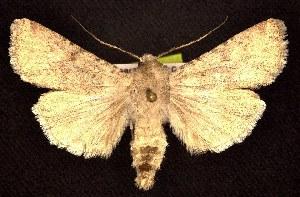 (Euxoa pallidimacula - CNCNoctuoidea7827)  @14 [ ] Unspecified (default): All Rights Reserved  Unspecified Unspecified