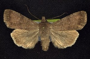 (Euxoa scotogrammoides - CNCNoctuoidea7833)  @14 [ ] Unspecified (default): All Rights Reserved  Unspecified Unspecified