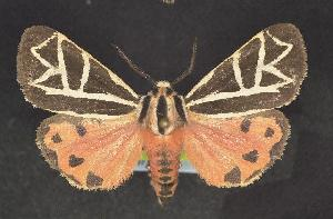 (Grammia phyllira - CNCNoctuoidea10137)  @14 [ ] Unspecified (default): All Rights Reserved  Unspecified Unspecified