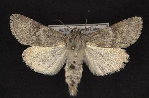 (Acronicta sperata - CNCNoctuoidea10220)  @14 [ ] CreativeCommons - Attribution Non-Commercial Share-Alike (2010) CBG Photography Group Centre for Biodiversity Genomics