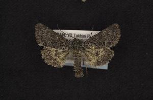 (Lasionycta poca - CNCNoctuoidea10250)  @13 [ ] Unspecified (default): All Rights Reserved  Unspecified Unspecified