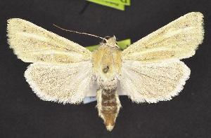 (Copablepharon atrinotum - CNCNoctuoidea10346)  @14 [ ] CreativeCommons - Attribution Non-Commercial Share-Alike (2010) CBG Photography Group Centre for Biodiversity Genomics