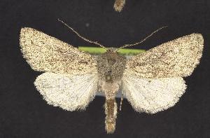 (Protogygia alberta - CNCNoctuoidea10368)  @14 [ ] CreativeCommons - Attribution Non-Commercial Share-Alike (2010) CBG Photography Group Centre for Biodiversity Genomics