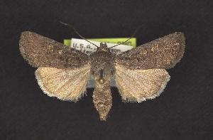 ( - CNCNoctuoidea10411)  @14 [ ] CreativeCommons - Attribution Non-Commercial Share-Alike (2010) CBG Photography Group Centre for Biodiversity Genomics