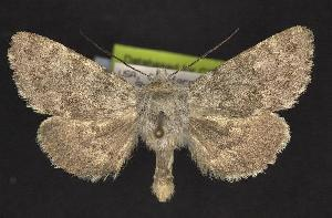(Lasionycta uniformis - CNCNoctuoidea10484)  @14 [ ] Unspecified (default): All Rights Reserved  Unspecified Unspecified