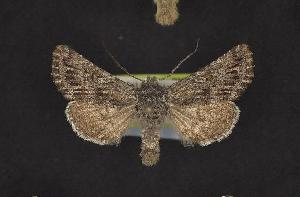 (Lasionycta benjamini - CNCNoctuoidea10521)  @14 [ ] Unspecified (default): All Rights Reserved  Unspecified Unspecified