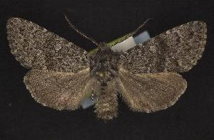 (Lasionycta subfuscula - CNCNoctuoidea10549)  @14 [ ] Unspecified (default): All Rights Reserved  Unspecified Unspecified