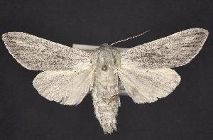(Acronicta lanceolaria - CNCNoctuoidea10667)  @14 [ ] CreativeCommons - Attribution Non-Commercial Share-Alike (2010) CBG Photography Group Centre for Biodiversity Genomics