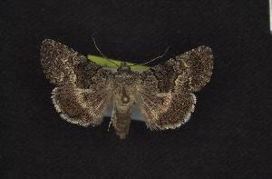 ( - CNCNoctuoidea7893)  @14 [ ] CreativeCommons - Attribution Non-Commercial Share-Alike (2010) CBG Photography Group Centre for Biodiversity Genomics