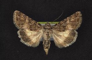 ( - CNCNoctuoidea7922)  @14 [ ] CreativeCommons - Attribution Non-Commercial Share-Alike (2010) CBG Photography Group Centre for Biodiversity Genomics