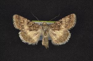 ( - CNCNoctuoidea7924)  @13 [ ] CreativeCommons - Attribution Non-Commercial Share-Alike (2010) CBG Photography Group Centre for Biodiversity Genomics