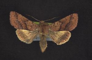 ( - CNCNoctuoidea10778)  @13 [ ] CreativeCommons - Attribution Non-Commercial Share-Alike (2010) CBG Photography Group Centre for Biodiversity Genomics