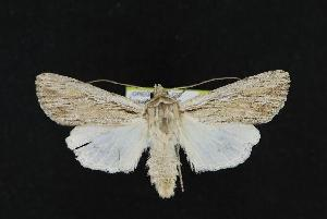( - CNCNoctuoidea11858)  @14 [ ] CreativeCommons - Attribution Non-Commercial Share-Alike (2010) CBG Photography Group Centre for Biodiversity Genomics