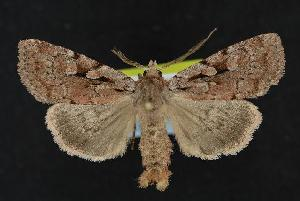 (Xestia praevia - CNCNoctuoidea12017)  @14 [ ] CreativeCommons - Attribution Non-Commercial Share-Alike (2010) CBG Photography Group Centre for Biodiversity Genomics