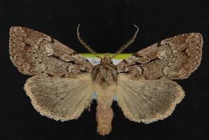 ( - CNCNoctuoidea12019)  @14 [ ] CreativeCommons - Attribution Non-Commercial Share-Alike (2010) CBG Photography Group Centre for Biodiversity Genomics