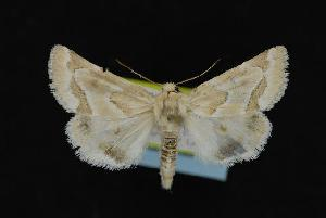 ( - CNCNoctuoidea12078)  @14 [ ] CreativeCommons - Attribution Non-Commercial Share-Alike (2010) CBG Photography Group Centre for Biodiversity Genomics