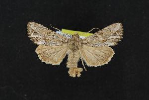 ( - CNCNoctuoidea12220)  @13 [ ] CreativeCommons - Attribution Non-Commercial Share-Alike (2010) CBG Photography Group Centre for Biodiversity Genomics