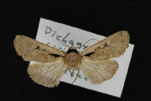 (Dichagyris beckeri - CNCNoctuoidea12259)  @12 [ ] CreativeCommons - Attribution Non-Commercial Share-Alike (2010) CBG Photography Group Centre for Biodiversity Genomics