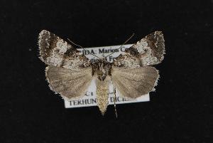( - CNCNoctuoidea12264)  @14 [ ] CreativeCommons - Attribution Non-Commercial Share-Alike (2010) CBG Photography Group Centre for Biodiversity Genomics
