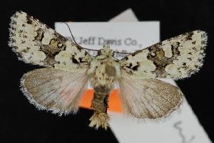 (Lacinipolia marinitincta - CNCNoctuoidea12280)  @14 [ ] CreativeCommons - Attribution Non-Commercial Share-Alike (2010) CBG Photography Group Centre for Biodiversity Genomics