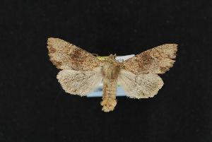(Apamea extincta - CNCNoctuoidea12298)  @14 [ ] CreativeCommons - Attribution Non-Commercial Share-Alike (2010) CBG Photography Group Centre for Biodiversity Genomics
