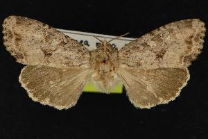 (Apamea wikeri - CNCNoctuoidea12351)  @14 [ ] CreativeCommons - Attribution Non-Commercial Share-Alike (2010) CBG Photography Group Centre for Biodiversity Genomics