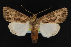 ( - CNCNoctuoidea12583)  @13 [ ] CreativeCommons - Attribution Non-Commercial Share-Alike (2010) CBG Photography Group Centre for Biodiversity Genomics