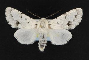(Acronicta vulpina - CNCNoctuoidea12600)  @15 [ ] CreativeCommons - Attribution Non-Commercial Share-Alike (2010) CBG Photography Group Centre for Biodiversity Genomics
