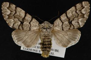 ( - CNCNoctuoidea12814)  @15 [ ] CreativeCommons - Attribution Non-Commercial Share-Alike (2010) CBG Photography Group Centre for Biodiversity Genomics