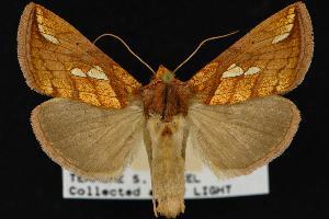(Plusia - CNCNoctuoidea12824)  @16 [ ] CreativeCommons - Attribution Non-Commercial Share-Alike (2010) CBG Photography Group Centre for Biodiversity Genomics