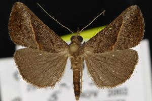 (Hypena degesalis - CNCNoctuoidea12864)  @15 [ ] CreativeCommons - Attribution Non-Commercial Share-Alike (2010) CBG Photography Group Centre for Biodiversity Genomics