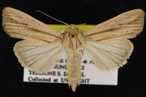 (Leucania anteroclara - CNCNoctuoidea12889)  @14 [ ] CreativeCommons - Attribution Non-Commercial Share-Alike (2010) CBG Photography Group Centre for Biodiversity Genomics