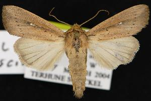 ( - CNCNoctuoidea12906)  @14 [ ] CreativeCommons - Attribution Non-Commercial Share-Alike (2010) CBG Photography Group Centre for Biodiversity Genomics
