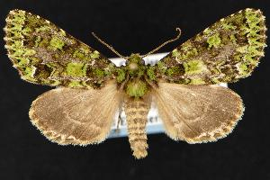 (Paratrachea viridescens - CNCNoctuoidea12926)  @15 [ ] CreativeCommons - Attribution Non-Commercial Share-Alike (2010) CBG Photography Group Centre for Biodiversity Genomics