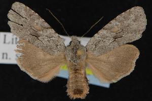 (Lithophane abita - CNCNoctuoidea12963)  @14 [ ] CreativeCommons - Attribution Non-Commercial Share-Alike (2010) CBG Photography Group Centre for Biodiversity Genomics