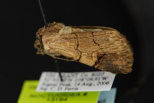 (Dichagyris grotei - CNCNoctuoidea13194)  @14 [ ] CreativeCommons - Attribution Non-Commercial Share-Alike (2010) CBG Photography Group Centre for Biodiversity Genomics